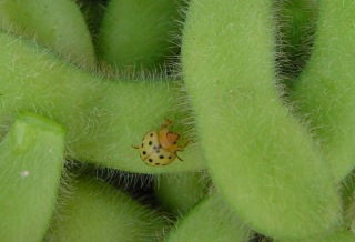 Mexican Bean Beetle on Soybeans