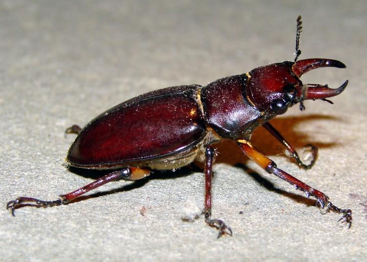 Staghorn Beetle