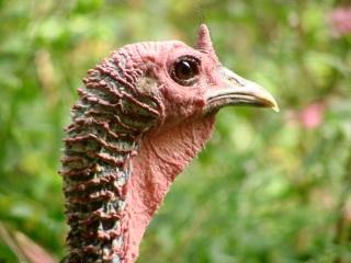 Tom Turkey Closeup