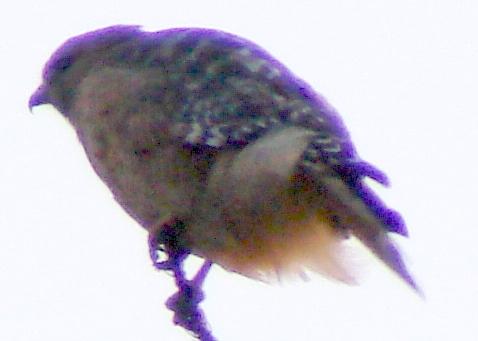 Coopers Hawk Detail - Violet Fringing