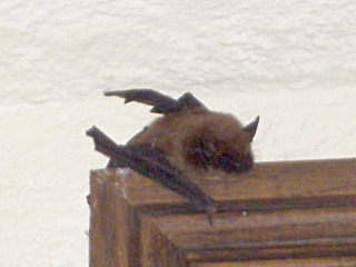 Brown Bat in Skinner Hall - Vassar