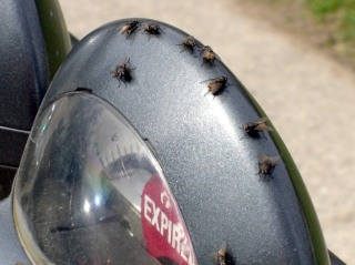 Flies on parking meter