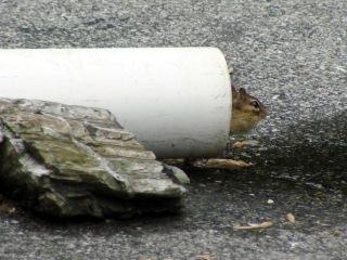 Chipmunk peering from drainpipe