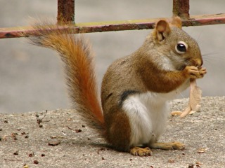 Red Squirrel - side