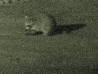 Raccoon vs cans - 1