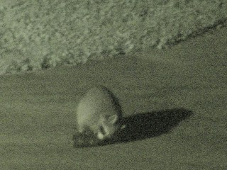 Raccoon vs cans - 2