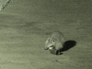 Raccoon vs cans - 3