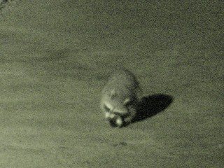 Raccoon vs cans - 4
