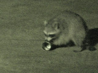 Raccoon vs cans - 5