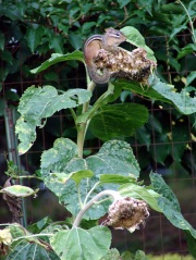 Chipmunk atop sunflower