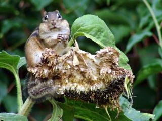 Chipmunk stuffing cheek pouches