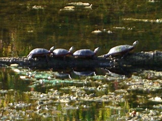 Vassar Farm Turtles