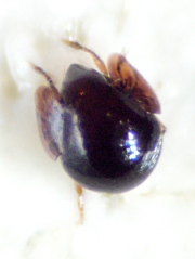 Spherical insect - dorsal
