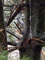 Rain-soaked squirrel