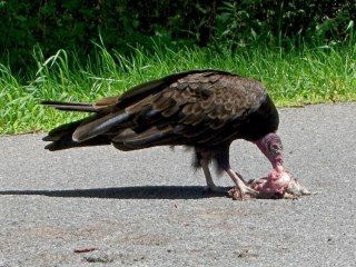 Vulture dismantling squirrel