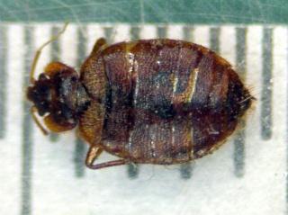 Bedbug - 4 mm - dorsal
