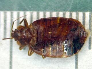 Bedbug - 6 mm - dorsal