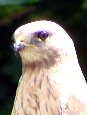 Coopers Hawk - eye detail