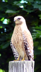 Coopers Hawk on pole