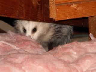 Opossum in attic soffit