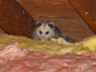 Opossum in attic