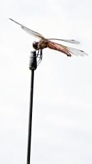 Dragonfly on antenna