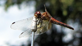 Dragonfly on antenna - detail
