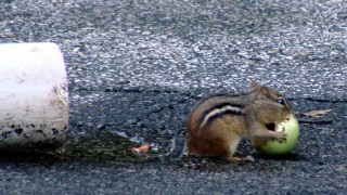 Chipmunk with apple
