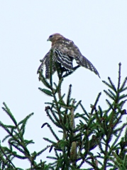 Coopers Hawk drying in pine tree