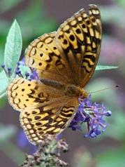 Fritillary butterfly - dorsal