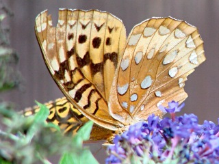 Fritillary butterfly - ventral