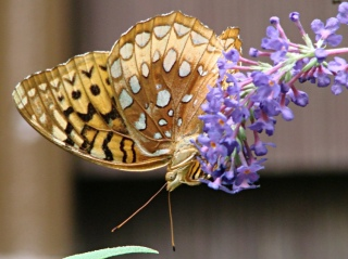 Fritillary Butterfly 2 - ventral