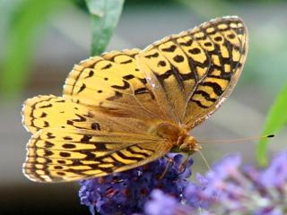 Fritillary Butterfly 2 - dorsal