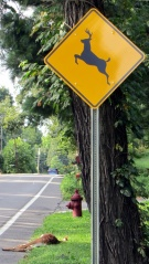 Dead fawn at Deer Crossing sign