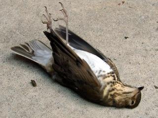 Dead Swainsons Thrush - ventral
