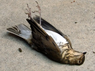 Dead Swainsons Thrush - ventral