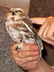 Saw-whet owl - calmed