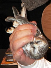 Saw-whet owl vs researcher