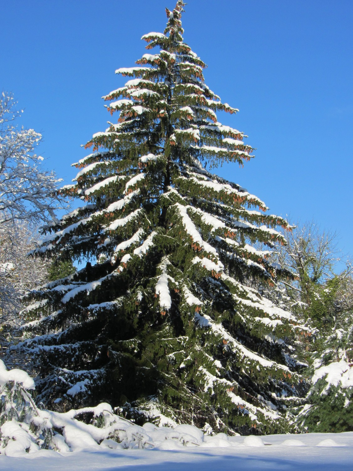 Merry christmas the smell of molten projects in the morning - Images of pine trees in snow ...