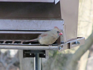 Female cardinal with one leg