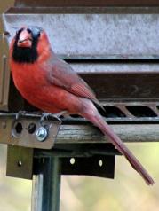 Bald Cardinal - front