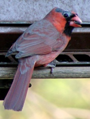 Bald Cardinal - right side