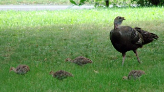 Turkey hen with chicks in grass