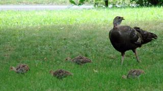 Turkey hen with chicks in grass