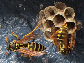 Paper wasp nest with eggs