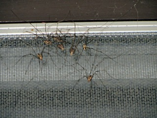Harvestmen on window screen