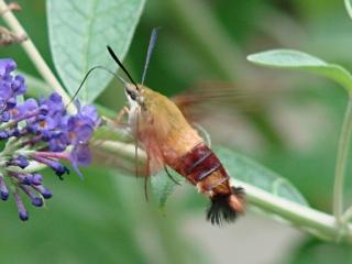 Hummingbird Moth - left side