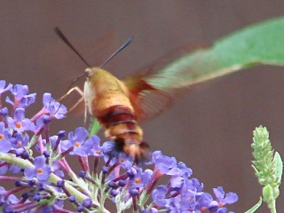 Hummingbird Moth - wing