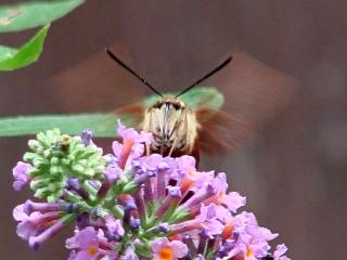 Hummingbird Moth - front