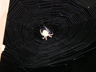 Orb spider at gutter - light